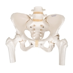 Female Pelvic Skeleton Model, with movable femur heads A62