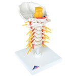 Cervical Spinal Column Model - A72