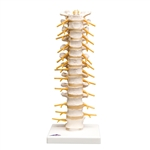 Thoracic Spinal Column Model - A73