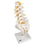 Lumbar Spinal Column Model - 3B Scientific A74