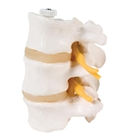 3 Lumbar Vertebrae Model, flexibly mounted A76-8