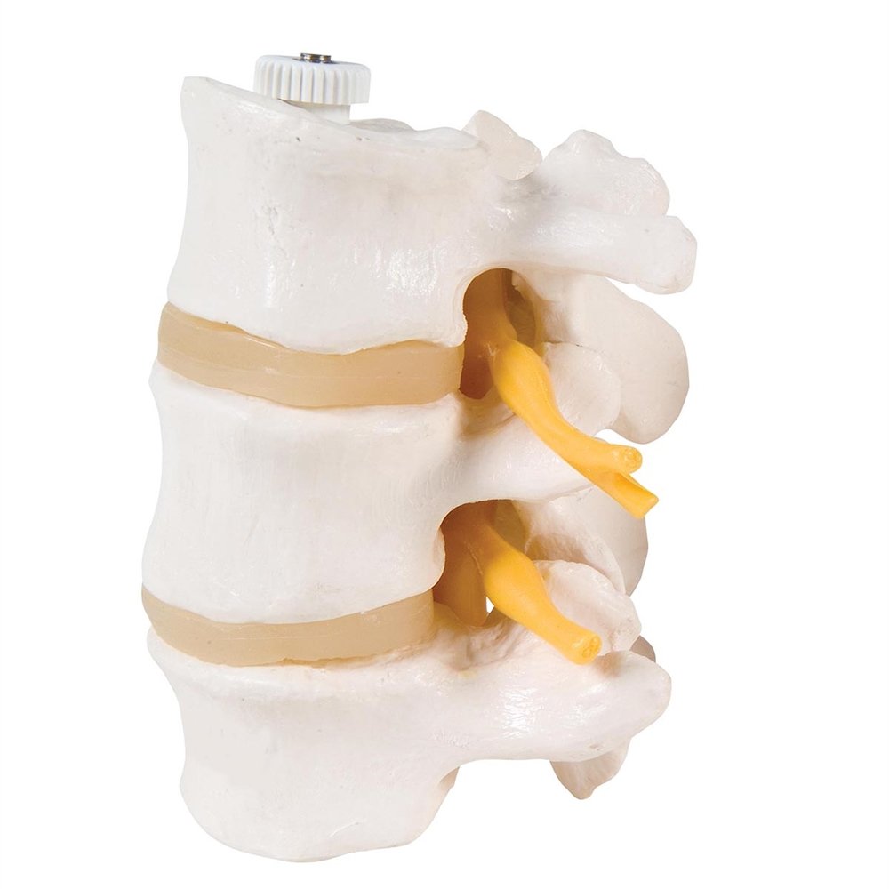 3 Lumbar Vertebrae Model Flexibly Mounted