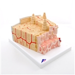 3B MICROanatomy Bone structure model, enlarged 80 times - A79