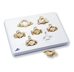 Set of 7 Cervical Vertebrae Models - A790
