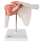 Functional Shoulder Joint Model | Shoulder Joint Model