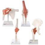 Functional Joint Quartet Set Model - elbow-hip-knee-shoulder-joint-models | 3B Scientific Functional Joint Quartet Model Set
