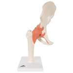 Deluxe Functional Hip Joint Model A81-1