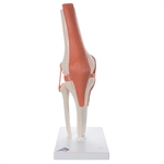 Functional Knee Joint Model - A82