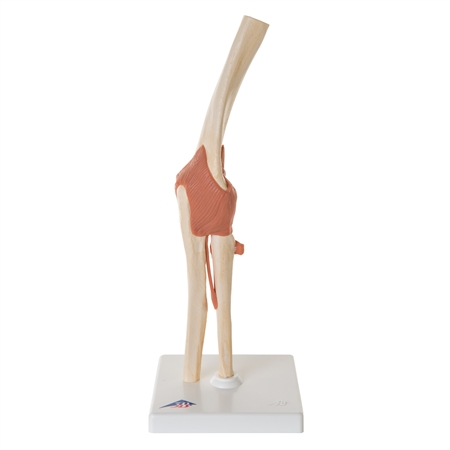 Deluxe Functional Elbow Joint Model - A83-1