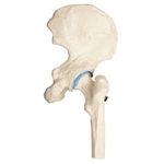 mini hip joint model without base