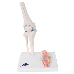 Mini Knee Joint Model with cross section, on base A85-1