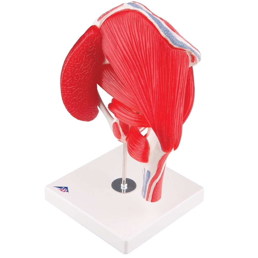 Hip joint model with detachable muscles, 7-part