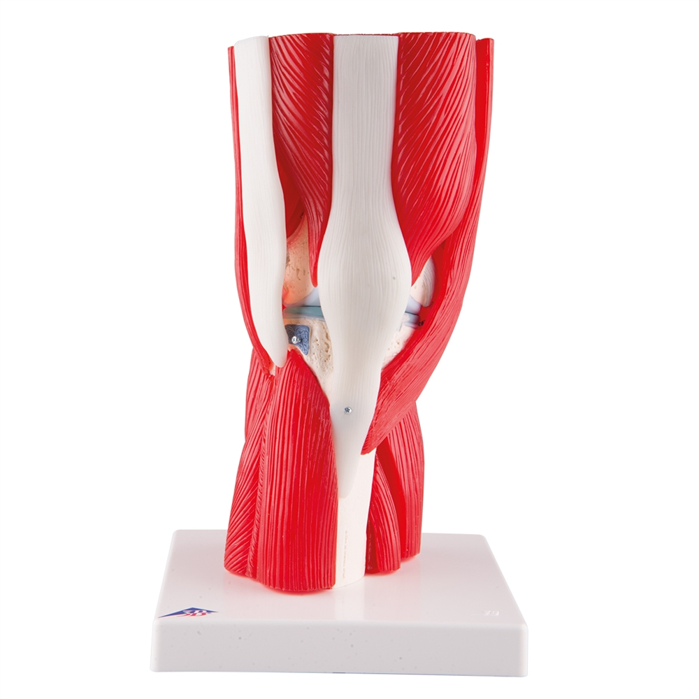 Knee Joint With Muscles 12 Part