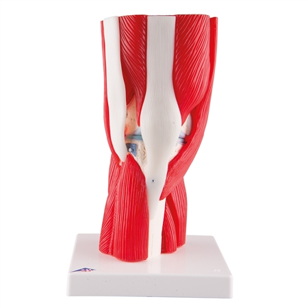 Knee Joint model with Removable Muscles