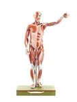 Male Muscle Figure | SOMSO Male Muscle Figure | SOMSO Male Muscle Figure - 1/2 natural size - AS-1-1