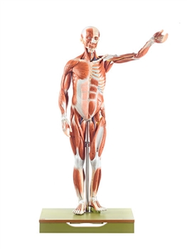 SOMSO Male Muscle Figure Model - Half Life-Size - AS1-1