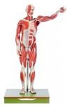 Male Muscle Figure  | SOMSO Male Muscle Figure  | SOMSO Male Muscle Figure - 27 Parts - AS-1