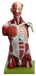 SOMSO Muscle Torso of Young Man with Head - 32 Parts - AS17-1