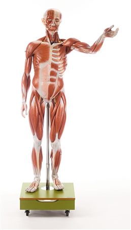SOMSO Male Muscle Figure - 3/4 natural size - AS2-2