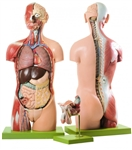 SOMSO Torso Model with Head and Open Back - AS23-2
