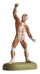 SOMSO Muscle Figure - 1/10 natural size