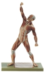 SOMSO Male Muscle Figure - 1/4 natural size