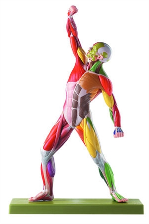 Male Muscle Figure with colour coding for the identification of motor innervation