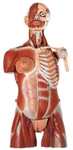 SOMSO Muscular Torso with Interchangeable Male and Female Genitalia