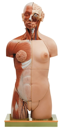 SOMSO Muscular Torso with Head and Open Back - AS7