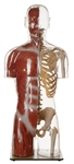 SOMSO Transparent Muscle Torso Model with Head