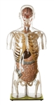 SOMSO Transparent Torso Model with Head
