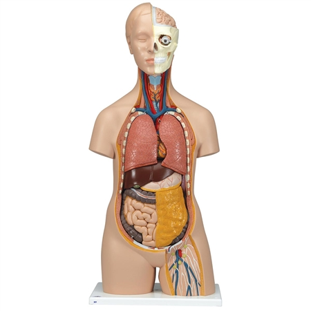 Human Torso Model | Life-size Torso Model | Anatomical Teaching Torso Model | 12 Part Torso Model | Classic Unisex Anatomical Torso Model | 3B Scientific B09 Classic Unisex Torso Model | Buy Classic Unisex Torso Model On Sale | Buy Torso Models On Sale