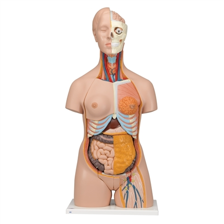 Dual-Sex Torso  | Dual-Sex Torso Model | DAnatomical Torso Model | Dual-Sex Anatomical Torso Model | 3B Scientific Dual-Sex Anatomical Torso Model B32