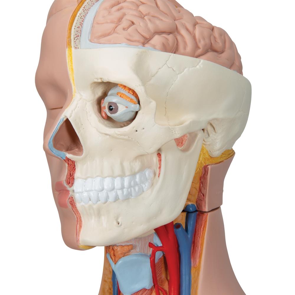 Dual Sex Torso With Half Skull Head 20 Part