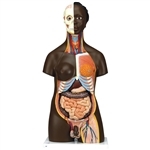 African Anatomical Torso Model  Dual Sex, 24 parts B37