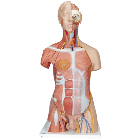 Muscle Torso Model | Dual Sex Muscle Torso Model | Deluxe Dual Sex Muscle Torso Model | Deluxe Dual Sex Muscle Torso Anatomy Model | 3B Scientific Deluxe Dual-Sex Muscle-Torso Model B40 | Deluxe Dual-Sex Muscle-Torso Model On Sale