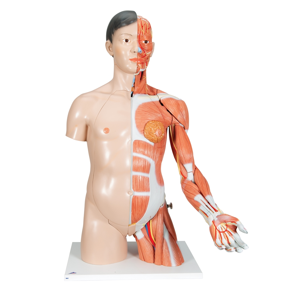 Life Size Asian Dual Sex Torso With Muscular Arm 33 Part