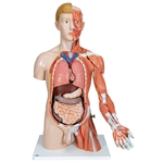Dual Sex Torso Model | Dual Sex Torso Model | Life-size Dual Sex Torso Model | Life-size Dual Sex Torso Model with Muscle Arm | 3B Scientific B42 Life-size Dual Sex Torso with Muscle Arm | Buy Life-size Dual Sex Torso with Muscle Arm On Sale