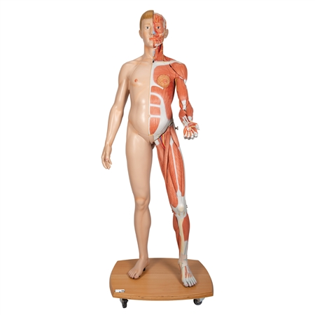 Human Figure Model | Dual Sex Human Figure | Life-Size Dual Sex Human Figure | 3B Scientific Life-Size Dual Sex Human Figure B53 | Life-Size Dual Sex Human Figure On Sale