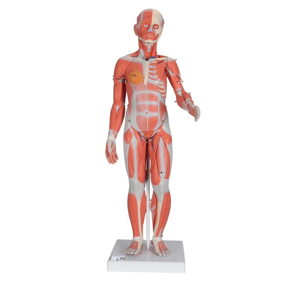 12 Life Size Complete Dual Sex Muscle Figure 33 Part