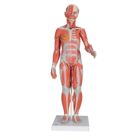 Complete Female Muscular Figure | 1/2 Life-Size Complete Female Muscular Figure | 3B Scientific B56 1/2 Life-Size Complete Female Muscular Figure, 21 part