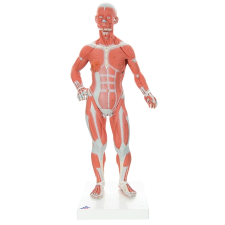 Muscle Figure  | 1/4 Life-Size Muscle Figure | 3B Scientific 1/4 Life-Size Muscle Figure, 2-part Model Number B59
