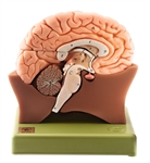 Half of the Brain Model | SOMSO Half of the Brain | SOMSO Half of the Brain Model | SOMSO Half of the Brain Model BS20-1