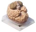 SOMSO Brain | SOMSO Brain Model | SOMSO Brain Model - Natural cast | SOMSO Brain Model - Natural cast BS-20