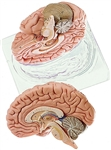 SOMSO Deluxe Human Brain Model, 2-Part - BS21