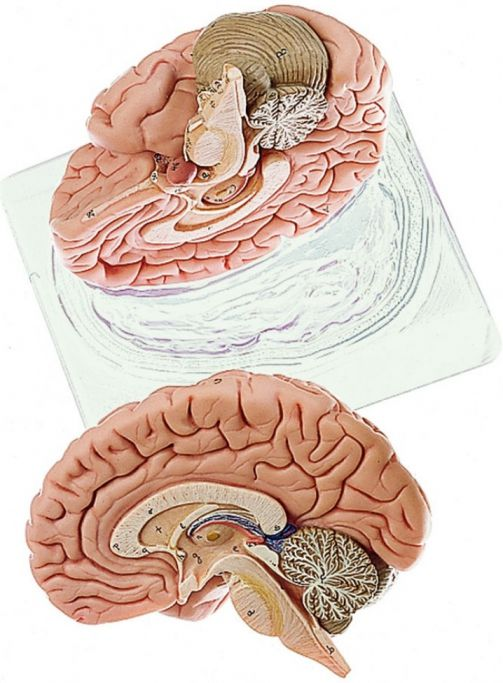 Somso Deluxe Human Brain Model 2 Part