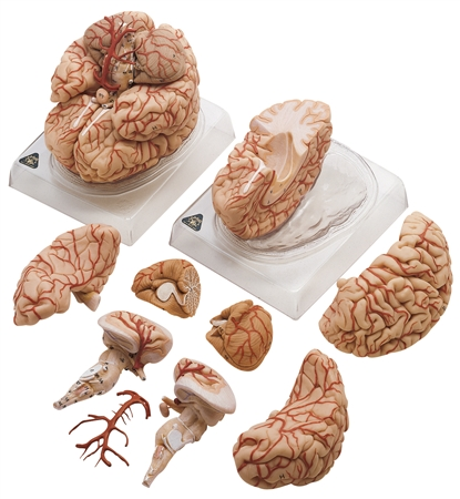 SOMSO Brain Model with Arteries - BS23