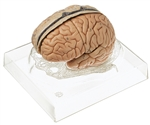 SOMSO Brain Model  | SOMSO Model of Brain | SOMSO Brain Model - 6 pieces  BS-23-3 | SOMSO Model of Brain - 6 pieces  BS-23-3