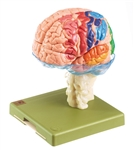 SOMSO Model Brain With Cytoarchitectural Areas | SOMSO Model Brain showing Cytoarchitectural Areas | SOMSO Model of Brain With Cytoarchitectural Areas | SOMSO Model of Brain With Cytoarchitectural Areas, 15-Part BS-25-1