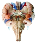 SOMSO Brain Stem Model | SOMSO Brain Stem Model BS-25-2-TSOMSO Model of Brain Stem | SOMSO Model of Brain Stem in 12 Parts | SOMSO Model of Brain Stem in 12 Parts BS-25-2-T